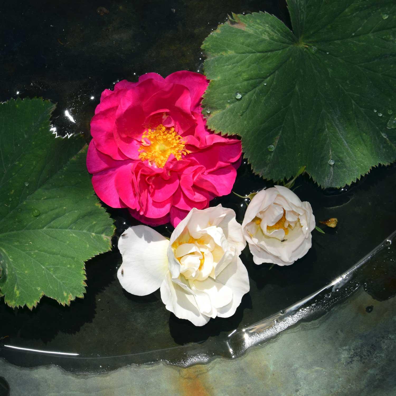 Blomsterhoveder fra havens historiske rosenbuske er lagt i fuglebadet