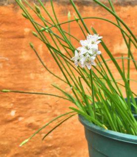 Kinesisk purløg, der har noter af hvidløg. Den fine hvide blomst kan også spises og fx drysses på maden.