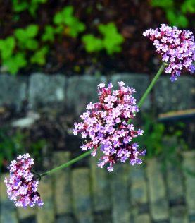 Verbena, der bliver høj og rank med fine små lysviolette blomster