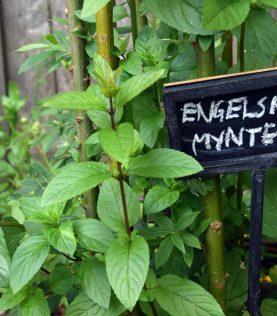 Engelsk Mynte