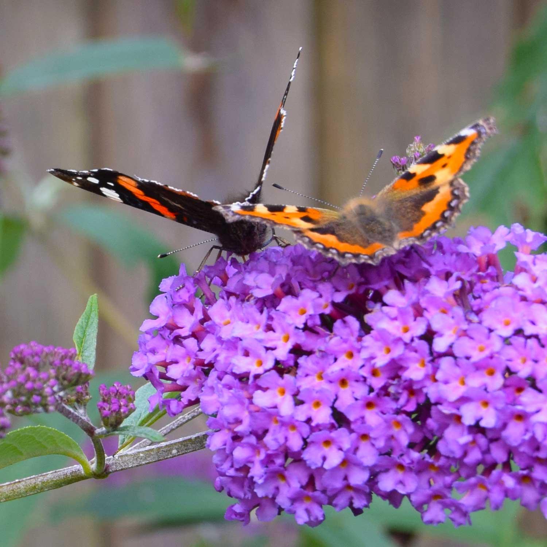To sommerfugle nyder livet i sommerfuglebusken